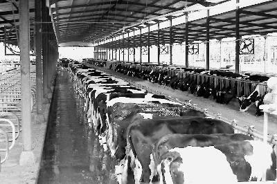 10头牛牛舍设计图; 6-4.6平方米通栏肥育牛舍有垫草的每