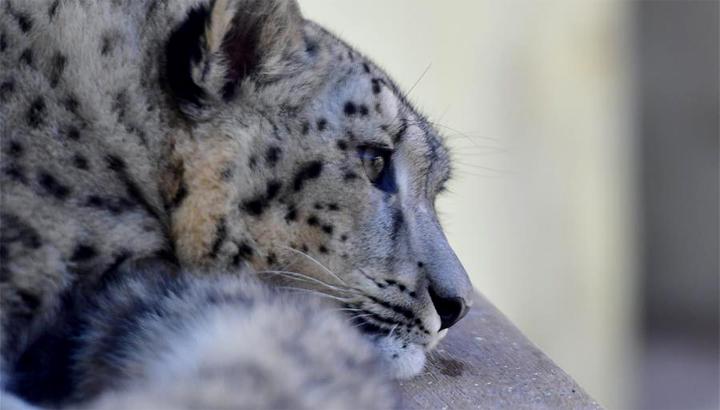 人工繁育雪豹雙胞胎首次亮相西寧野生動物園