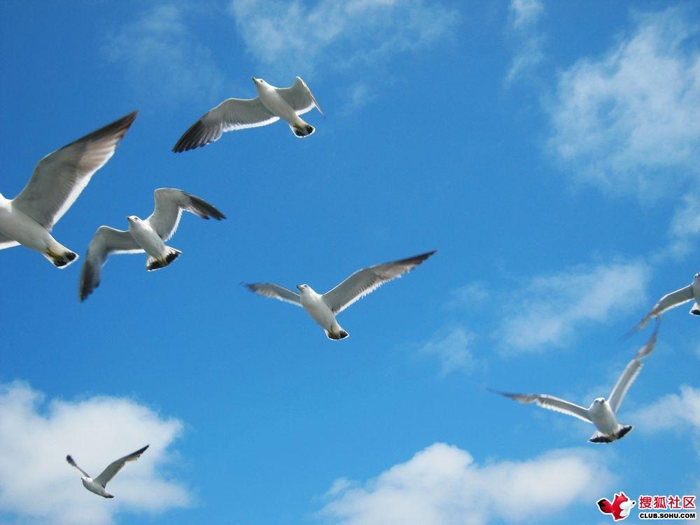 群鸥翱翔在蓝色的天空