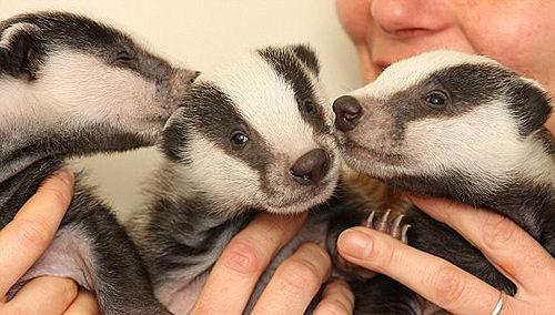 三只可爱的獾宝宝