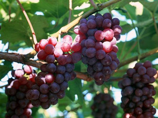 葡萄树七月管理技术
