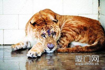 """中山公园动物园迎来""""新成员"""" 狮虎兽白牛引关注; 狮虎兽来了白牛也来"""