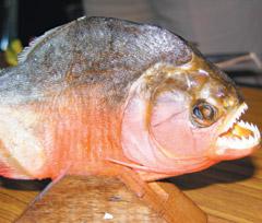 食公园惊现新竹川贝淡水?原来是白鲳水池!气管炎喝猪肺罗汉果沙姜人鱼汤图片