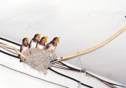 家燕来巢汤包店活招牌 客人边用美食边赏鸟
