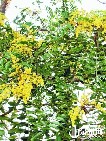 """春天落叶冬天开花 200多年古树或叫""""无患子"""""""