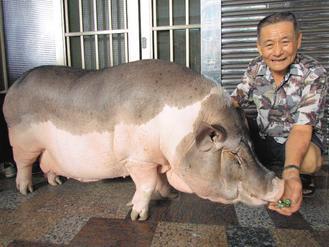 才3岁多,体重已飙到200公斤,每天要嚼十几颗槟榔,边吃边吐汁,血盆大口
