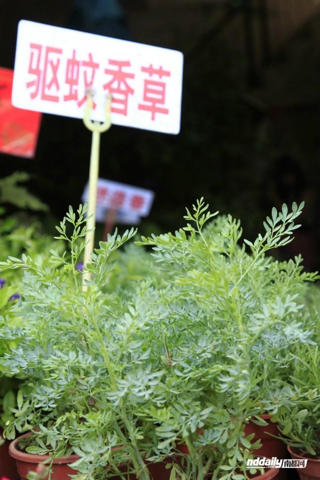 芸香草,其通过散发香味驱虫