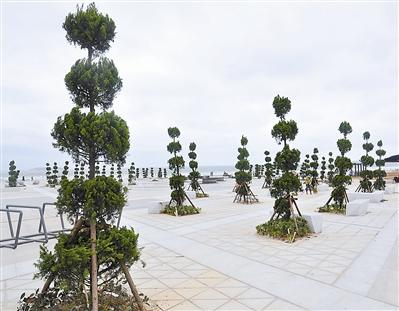 龙凤头海滨浴场换种绿化树 新树种更具抗风能力
