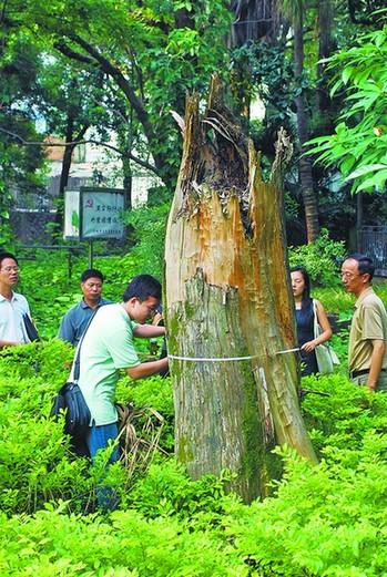 """因在树旁搅拌水泥石灰而致""""中国平顶赤松王"""""""