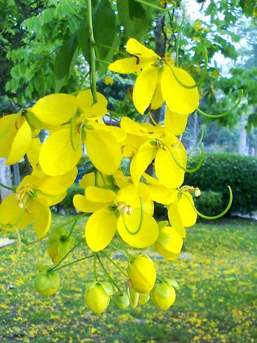 在此小编为您介绍下阿勃勒(学名:cassia fistula),又名金急雨,金链花