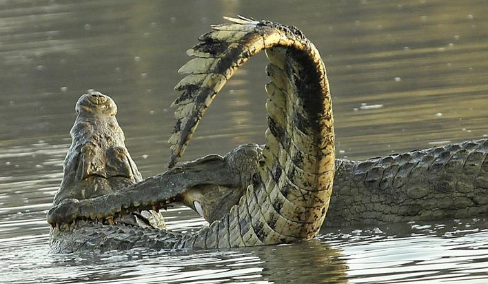 坦桑尼亚野生动物保护区惊现尼罗鳄决斗争霸场面