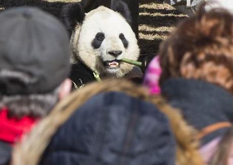 """(国际)(1)多伦多动物园举行""""向大熊猫道别""""活动"""