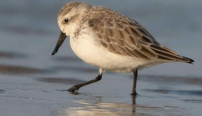 世界极危珍稀鸟种勺嘴鹬现身闽江口江滩