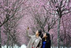 (春季美丽生态)(1)美人梅开赏花来