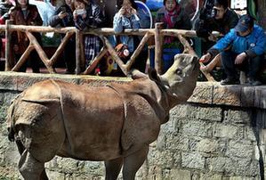 (社会)(1)上海:亚洲独角犀牛正式与游客见面