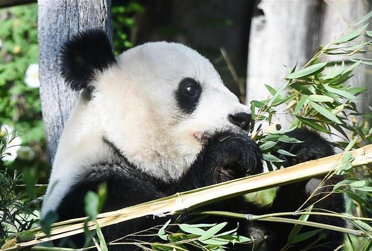 """(国际)(2)维也纳:大熊猫""""阳阳""""的幸福生活"""
