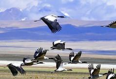 (环境)(2)多庆湖畔黑颈鹤