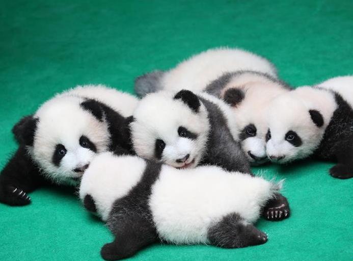 (社会)(5)成都:7只新生大熊猫齐亮相